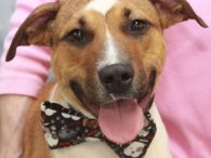 Meet Doug the dog, a kind and gentle 2 year-old Beagle/Bulldog mix neutered male who is truly a friend to all. This sweet boy was waiting patiently at an overcrowded county dog shelter for adoption or rescue. When the overcrowding […]