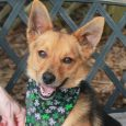 This super-cute little 2-3 year-old guy looks like the perfect mix of Corgi and German Shepherd. He only weighs about 17 pounds so is the perfect size for just about any home. Frasier came to us from an overcrowded county […]