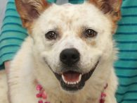 Holly is a beautiful 1.5 year-old Cattledog mix spayed female who was an owner surrender at an overcrowded county dog shelter. We don't why Holly lost her home but the shelter raved about what a nice dog she is—much more […]