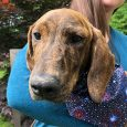 Jackie is a sweet and shy 4-5 month-old Basset Hound/Dachshund mix who came with her sister Jill (not bonded) to Canine Lifeline from an overcrowded rural county dog shelter. Jackie is the larger and shyer of the two sisters but […]