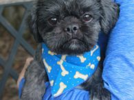 Jojo is an adorable neutered male Shih-Tzu with a cute underbite who is about 18 months of age. When he arrived at Canine Lifeline, he was very frightened and showing some aggression, especially with men. We later learned that he […]