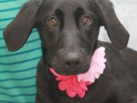 Calling all Lab lovers! Kira is a 9 month-old Black Lab mix spayed female who found herself homeless at an overcrowded rural county dog shelter and made the trip to Canine Lifeline so she would have more time to work […]