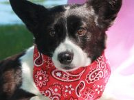 Nugget is an adorable 5 year old Corgi mix who found herself homeless at a rural county dog shelter and made the trip Canine Lifeline so she would be able to find a wonderful new home. Unfortunately, once Nugget arrived […]