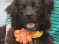 This charming and very beautiful 1-2 year-old Border Collie/Retriever mix spayed female is Olivia. She was found as a stray in poor condition and brought to the local shelter. When her stray hold was up, Olivia made the trip to […]