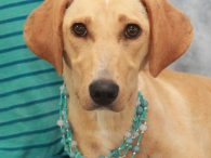 Poppy is an adorable 8 month-old Lab/Mountain Cur mix spayed female with a bobtail. She found herself homeless at a rural county dog shelter and made the trip to Canine Lifeline so that she could take her time finding the […]
