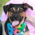 Raleigh is a bright-eyed and alert 10 month-old Beagle/Doxie mix neutered male who loves everyone and everything. He certainly isn't the least bit shy and loves being the center of attention. This little guy came into a county dog shelter […]