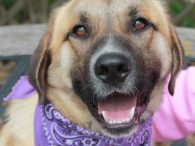 This fabulous 10-11 month-old Anatolian Shepherd mix has it all—great looks and an incredibly sweet disposition! Ruckus found himself homeless at an overcrowded rural county dog shelter and made the trip to Canine Lifeline so he would be able to […]