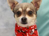 "Sam and his ""buddy"" Dave are 5-6 year-old Chihuahua mixes who were found as strays together. As small as they are (only 5-6 pounds), it's amazing that they lasted anytime at all on their own outside. After their stray hold […]"