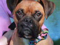 Boxer lovers are going to be wild about Slugger! This super-friendly 2 year-old seems to have had a rough first two years of his life but those days are behind him and he's ready to make a fresh start […]