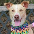 Spencer is a very friendly 3 year-old Mountain Cur mix neutered male who spent much of his life on a chain and is now ready to live a dog's dream with a new family. This is one very nice dog […]