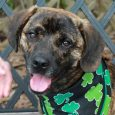 Tommy is a 10-11 month-old Mountain Cur/Beagle mix neutered male and one very happy dog in spite of having had a rough puppyhood. He came into a KY shelter with his twin sister Tina several months ago. Tina made the […]