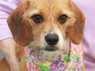 Meet Becca, an adorable 9 month-old pup who looks to be the perfect mix of Beagle and Terrier. This girl is about the size and coloring of a Beagle but has some scruffy whiskers that only add to her cuteness. […]