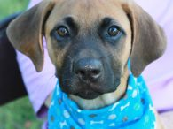 Meet Eli, a very handsome 3 month-old (born in mid-April) pup who looks like a Shepherd/Lab mix to us. The shelter who sent him to us called him a Boxer/Belgian Malinois mix so perhaps a DNA test is in order […]
