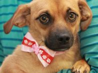 This super-adorable 1 year-old pup is Gumdrop, who looks to us to be a mix of Chihuahua, Pug, and Doxie. Since she came to us from a county dog shelter, we have no history on her previous life or any […]