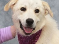 Jolie is a gorgeous 1 year-old Great Pyrenees mix female who came into a county dog shelter as a stray. When she wasn't claimed, she made the trip to Canine Lifeline so that she would be able to take her […]