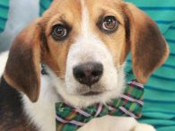 Larry is an exceptionally nice 4 month-old Beagle mix pup who found himself homeless at an overcrowded rural county dog shelter so made the trip to Canine Lifeline so he would make sure to get a fantastic new home. We […]