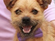 Meet Muttley, a bright-eyed and alert 3 year-old Terrier mix neutered male who looks very much like a Norfolk or Norwich Terrier. We don't have any history on this friendly boy as he was pulled from a high-kill shelter by […]