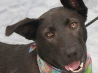 Star is a gorgeous 1 year-old Lab/Shepherd mix female who is aptly named for the beautiful star shape on her chest. This girl has the most striking coloring—she's more of a combination of biue/gray/black rather than all black—and has ears […]