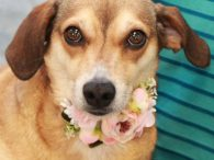 Looking for a dog who's kind, gentle, and very well-mannered? That's our Twix, a 2 year-old Beagle mix spayed female who's all that and more. She came to us from an overcrowded county dog shelter so we have no history […]