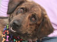 Willow is a beautiful 2 year-old Collie mix female who was an owner surrender at an overcrowded county dog shelter along with her sister Blossom. We don't know what caused these two to lose their home but they aren't letting […]