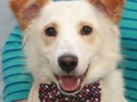 Crockett is a charming 2 year-old boy who looks to be a mix of Retriever and Corgi with his pretty coat, long body, and short legs. He was brought into a rural county dog shelter at the end of a […]