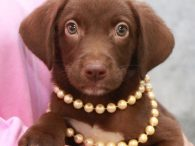 Erin is a beautiful 10-11 week old (born in early June) Chocolate Lab/Mountain Cur mix female who came to us along with her 5 siblings. We were notified about this litter by a shelter volunteer at a county dog pound […]
