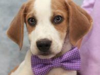 Hound lovers are going to be crazy about our trio of Beagle/Basset mix pups! Finngan is one of three owner. He is about 3 months-old, having been born in late-May and looks like a long-legged Beagle with a very pretty […]