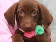Mara is a very pretty 10-11 week old (born in early June) Chocolate Lab/Mountain Cur mix female who came to us along with her 5 siblings. We were notified about this litter by a shelter volunteer at a county dog […]