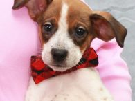 Meet Marvel, one of a litter of 9 pups who came to us from an overcrowded county dog shelter several weeks ago. This little family was surrendered by their owners and the shelter listed their breed mix as Beagle and […]