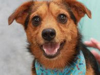 Collins is an active and energetic 2 year-old Terrier mix with lots of personality and a big smile for the camera. He is a typical Terrier in that he can be feisty, independent, and opinionated (he has a surprisingly deep […]