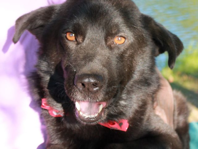 This sweet face belongs to Gage, a wonderful 2 year-old Retriever/Chow mix male with a very kind and gentle disposition. He found himself homeless at an overcrowded rural county dog shelter and made the trip to Canine Lifeline in early […]