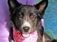 Meet Macey, a pretty 8 month-old Border Collie mix pup who was found as a stray and brought to an overcrowded county dog pound along with Colleen, another pup who was thought to be her littermate. They had the misfortune […]