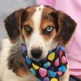 Mya is a gorgeous 1 year-old Beagle/Doxie mix with a long body and short legs whose pretty markings and one blue eye suggest there might be a little Aussie in her family tree too. She and her sister Diamond were […]