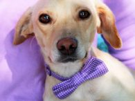 Looking for a sweet dog with a heart of gold? That's our boy Peanut! This wonderful little 1 year-old guy looks like the perfect mix of Beagle and Yellow Lab, weighing in at only about 21 pounds. We don't have […]