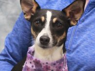 Angelina is an adorable 2.5 year-old Rat Terrier mix spayed female who came into an overcrowded county dog shelter as a stray along with Abileen, a dog who looks like her littermate. While we don't have any history on her, […]
