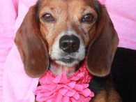 This lovely little lady is Carrie, a 5 year-old Beagle/Dachshund mix female who came to us from a county dog shelter. She was one of a number of Beagles and Beagle mixes who the shelter pulled from a hoarding situation. […]