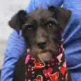 Terrier lovers, meet Jamie! This sweet girl is a 4.5 year-old Schnauzer mix who was surrendered to a county dog shelter by her owner along with her puppies. They told the shelter they just had too many dogs and were […]