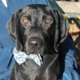 Lincoln has it all–great looks and a fabulous disposition. This sweet and loving 3-4 year-old Black Lab mix who came to us in late May from a shelter with a horrible embedded collar injury. We don't have any history on […]