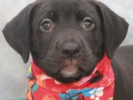 Pilgrim is a handsome 9 week old Catahoula/Lab mix pup who was born on August 15. His mom Brie came to us from a shelter about a week before she gave birth to Pilgrim and his siblings. Brie, who looks […]