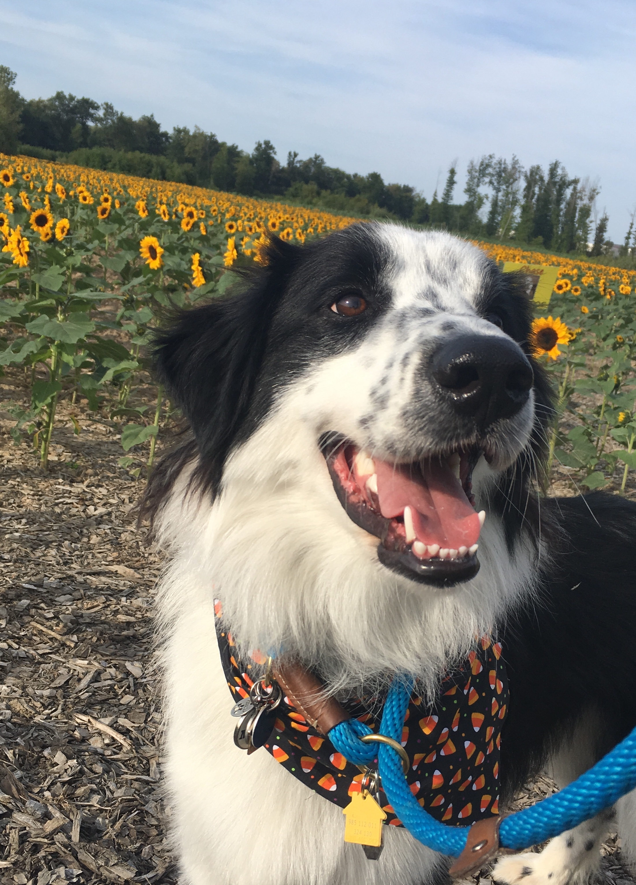 Enzo (Tex) will have been with me 6 months this month! After losing my senior Border Collie best friend, I was lost. When I saw Enzo I knew he could be the one to help me heal and once I […]