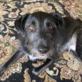 Truman (Alfie) has been a year with us today. He is so funny, and great with our cats, and our senior dog. We are so happy to have found Truman. Thank you caring Foster Families at Canine Lifeline and The […]