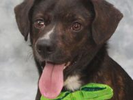 Meet Blake, a handsome 1.5 year-old boy with a beautiful brindle coat who looks like a mix of Plott Hound and Mountain Cur although his breed mix is really anyone's guess. Blake found himself homeless at an overcrowded rural county […]