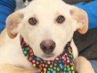 This cute blonde pup is Butterscotch, a 4 month-old Lab/Mountain Cur mix male—or at least that's our best guess! We don't have any history on this pup as he came to us from an overcrowded rural county dog shelter. Butterscotch […]