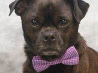 Calling all Pug lovers! Say hello to Otis, a 2 year-old little guy who's overflowing with personality and spunk. This little gent came to us from an overcrowded county dog shelter as a stray so we have no history on […]