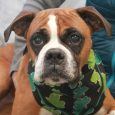 Meet Sissy, an adorable 5 year-old Boxer who is looking for a new home as her owner no longer had the ability to care for her. Sissy is such a friendly, happy dog with the typical Boxer charm and enthusiasm […]