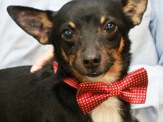 You'd be hard-pressed to find a friendlier little guy than Barney, our 3 year-old Chihuahua mix. This little gentleman arrived at Canine Lifeline in late September from an overcrowded county dog shelter. Immediately upon arrival, we noticed that his back […]