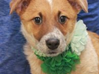 Bijou is one of a litter of 7 Cattledog mix pups who were found abandoned in a box on the side of a road in early December when they were about 8 weeks-old. Fortunately, they were found before any harm […]