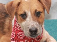 Cousteau is one of a litter of 7 Cattledog mix pups who were found abandoned in a box on the side of a road in early December when they were about 8 weeks-old. Fortunately, they were found before any harm […]