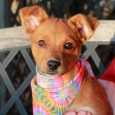 Looking to pick up the pace at your house? Ember's here to help! This bright-eyed and alert 3-4 month-old Cattledog mix pup came to us from an overcrowded county dog shelter and is ready to find the home of her […]