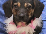 This sweet little lady is Fable, a 6-7 month-old pup whose breed mix is anyone's guess. We're going with Beagle and Feist but she is likely a true Heinz 57. She's a dainty girl at about 17 pounds but has […]